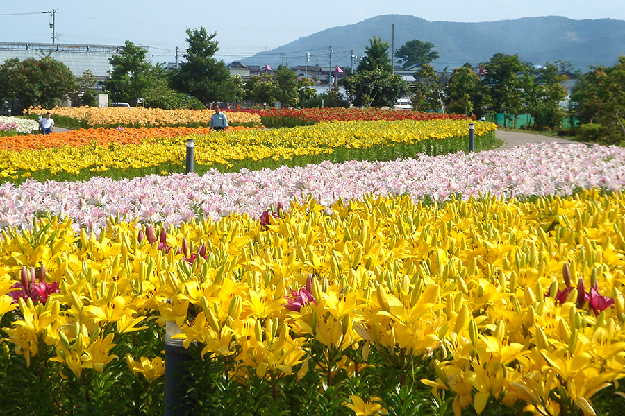 Lily festival