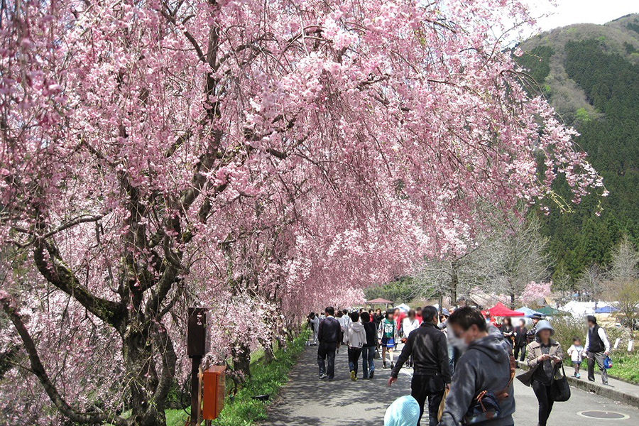Takeda no Sato Weeping Cherry Festival